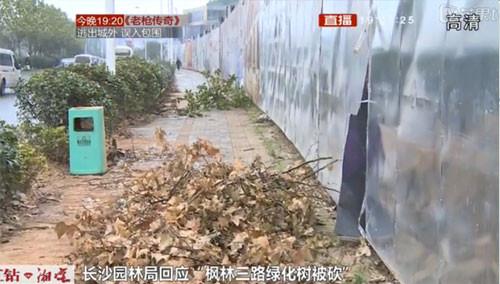 """长沙园林局回应""""枫林三路绿化树被砍"""""""