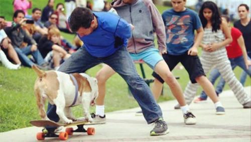 汪星人的骄傲!打破世界纪录的斗牛犬踩滑板穿越人群