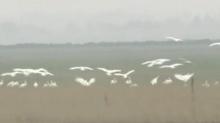 第八届洞庭湖(岳阳)国际观鸟节12月11日开幕